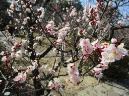 Ume blossoms small