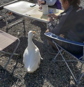 Hang Gliding 001 Duck Friend